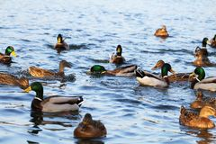 Wild ducks in the lake Royalty Free Stock Image