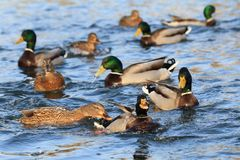 Wild ducks in the lake Royalty Free Stock Photo
