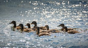 Wild ducks on the lake Stock Image