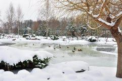 Wild ducks on lake Stock Images