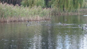 Wild ducks on the lake stock footage