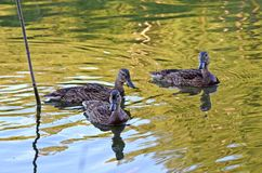Wild ducks on the lake in natural habitat royalty free stock photography