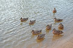 Wild ducks on the lake in natural habitat. Adult ducks on a sunny evening on the lake. Summer on the lake with duckweed stock image