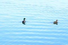 Wild ducks on the lake. Wild ducks ostentation in the water Stock Photo