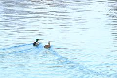 Wild ducks on the lake. Wild ducks ostentation in the water Royalty Free Stock Photography