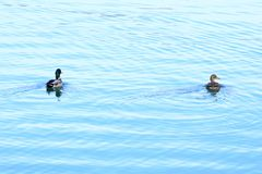 Wild ducks on the lake. Wild ducks ostentation in the water Stock Images