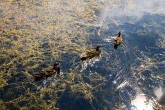 Wild ducks on the lake. Surface Stock Photos