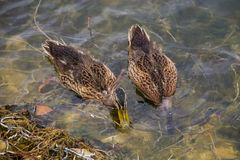 Wild ducks on the lake surface Stock Photography