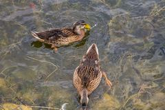 Wild ducks on the lake surface. Wild ducks swimming on the lake surface Royalty Free Stock Photography