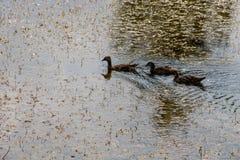Wild ducks on the lake. Surface Royalty Free Stock Photo