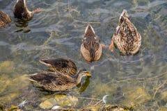 Wild ducks on the lake surface. Wild ducks swimming on the lake surface Stock Photo