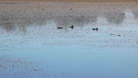 Wild ducks on a lake. stock video footage