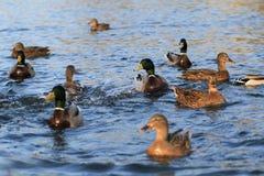 Wild ducks in the lake Royalty Free Stock Photos