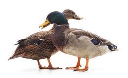 Wild ducks. Stock Photography