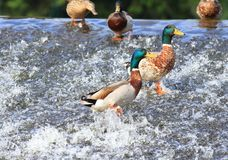 Wild ducks, lat.  Anas platyrhynchos Royalty Free Stock Photography