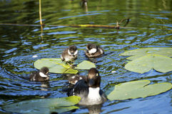 Wild ducks on a Lily pond in the spring. With mother duck and brood Royalty Free Stock Images