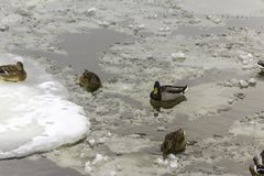 Wild ducks living among ice floes. Winter, cold water, ice. Photo for the site about birds, nature, seasons, the Arctic Royalty Free Stock Image