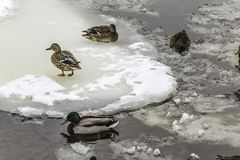 Wild ducks living among ice floes. Winter, cold water, ice. Photo for the site about birds, nature, seasons, the Arctic Stock Photography