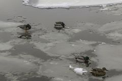 Wild ducks living among ice floes. Winter, cold water, ice. Photo for the site about birds, nature, seasons, the Arctic Stock Image