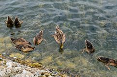 Ducks looking for food in water. Wild ducks looking for food in water Royalty Free Stock Photo