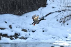Wild ducks make a landing and fly up over the river in the winter. Herd of duck flying Royalty Free Stock Photos