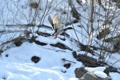Wild ducks make a landing and fly up over the river in the winter. Herd of duck flying Royalty Free Stock Photo