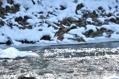 Wild ducks make a landing and fly up over the river in the winter. Herd of duck flying Stock Photography