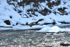 Wild ducks make a landing and fly up over the river in the winter. Herd of duck flying Stock Photo