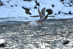 Wild ducks make a landing and fly up over the river in the winter. Herd of duck flying Stock Images