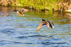 Wild ducks, male and female flying over the river. Two wild ducks, male and female flying over the river Stock Image