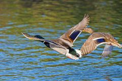 Wild ducks, male and female flying over the river. Wild ducks, male and female flying Royalty Free Stock Images