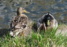 Wild ducks: male and female. stock photography