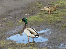 Wild ducks, male and female. Wild ducks, men and women next to the road in the village Stock Images