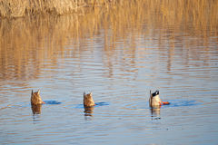 Wild ducks. A male and two female mallard& x28;Scientific name: Anas platyrhynchos& x29; are foraging in winter reed marshes Royalty Free Stock Image