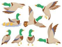 Free Wild Ducks. Mallard Duck, Cute Flying Goose And Green Headed Swimming Canard Isolated Cartoon Vector Illustration Set Royalty Free Stock Image - 139606126