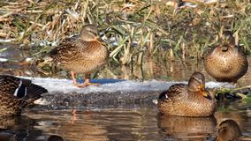 Wild ducks mallard enjoy the rays of the winter sun. Anas platyrhynchos stock video footage