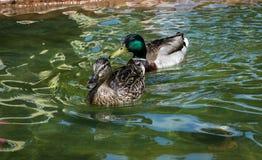 Wild ducks. Mallard in a fountain in Riva del Garda Royalty Free Stock Photos
