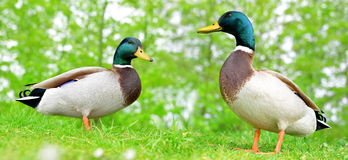 Wild ducks or mallard on green grass. Royalty Free Stock Photos