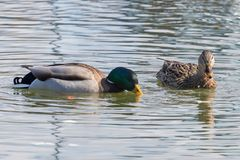 Wild ducks Mallard Male and Female Anas platyrhynchos. Wild duck Stock Photography