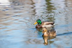 Wild ducks Mallard Male and Female Anas platyrhynchos. Wild duck Royalty Free Stock Images