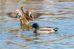 Wild ducks Mallard Male and Female Anas platyrhynchos. Wild duck Royalty Free Stock Photo