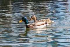Wild ducks Mallard Male and Female Anas platyrhynchos. Wild duck Royalty Free Stock Photos