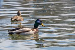 Wild ducks Mallard Male and Female Anas platyrhynchos. Wild duck Stock Photo
