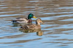Wild ducks Mallard Male and Female Anas platyrhynchos. Wild duck Stock Photos