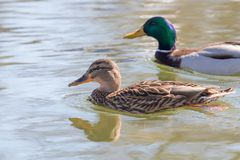 Wild ducks Mallard Male and Female Anas platyrhynchos. Wild duck Royalty Free Stock Image
