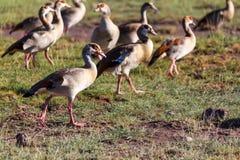Wild Ducks. (mallards) at the Amboseli National Park in Kenya Royalty Free Stock Image