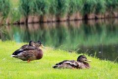 Wild ducks. (mallards) at lakeside Stock Photography