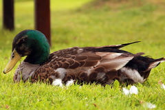 Wild ducks. (mallards) at lakeside Royalty Free Stock Images
