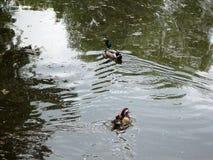 Wild ducks and mandarin duck Stock Photos
