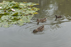 Wild ducks and moorhen floating in the pond with water lily Royalty Free Stock Photos